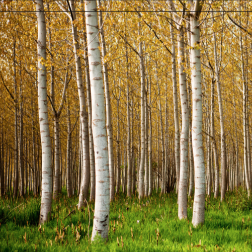 Hirshfield's Birch Tree for Shade