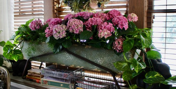 Hydrangeas in sunroom